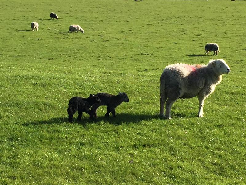 Hardwick Sheep